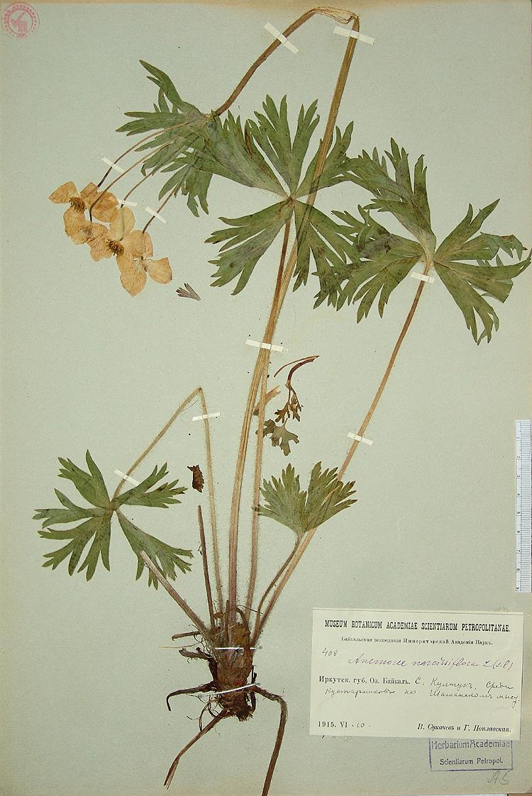http://www.mobot.org/MOBOT/Research/LEguide/specimen-images/101/img_med/sukaczew-r16.jpg
