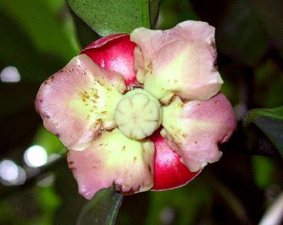 Garcinia mangostana female