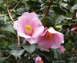 Camellia Claudia Lee