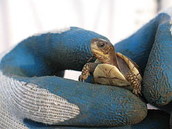 Three-toed box turtle baby