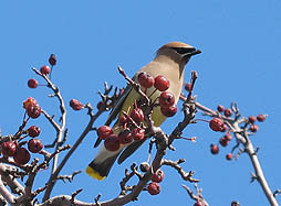 Cedar waxwing in flowering crabapple