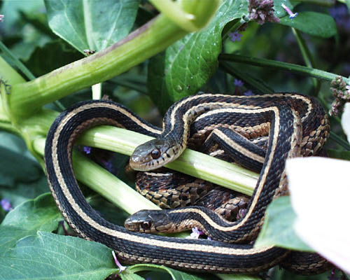 Garter Snakes Pictures