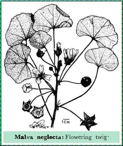 http://www.mobot.org/mobot/PakistanImages/130-Malvaceae/Malva_neglecta.jpg
