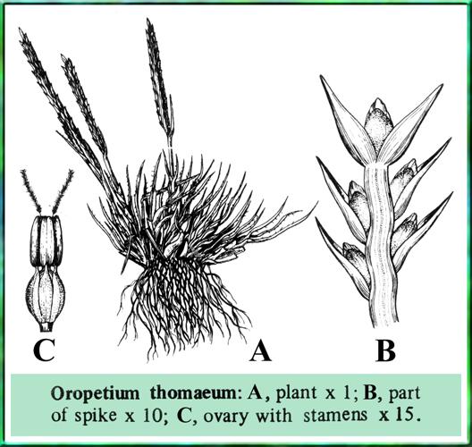 illustration oropetium thomaeum