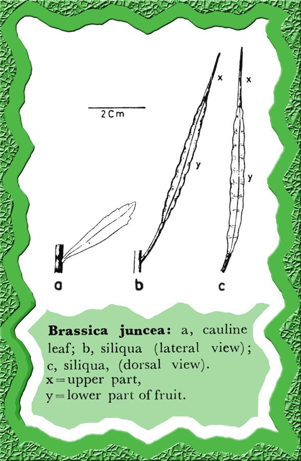 external image Brassica_juncea.jpg
