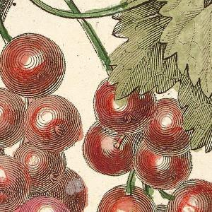 Detail of Illustration of Groseillier à gros fruit rouge