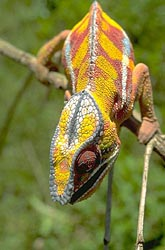 Chameleon facing
