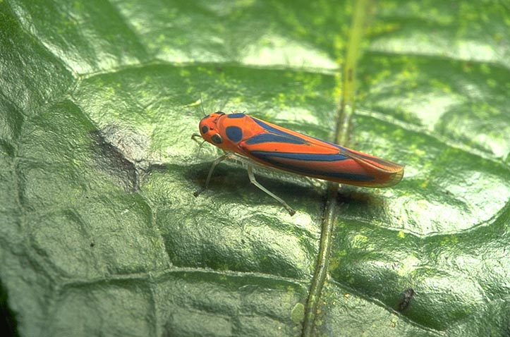 Orange and blue leafhopper