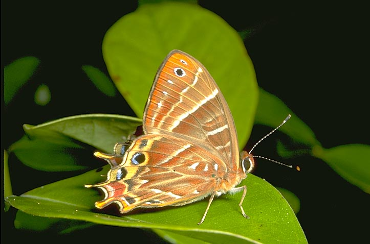 Saribia butterfly