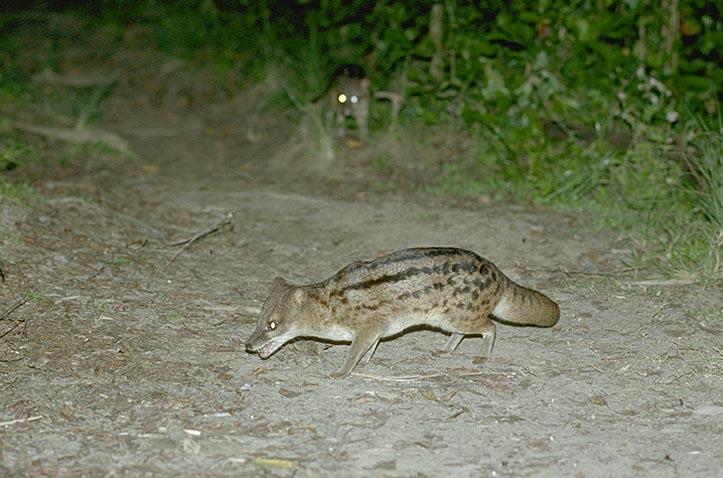 Striped Civet