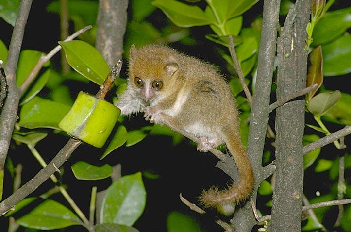 Rufous mouse lemur