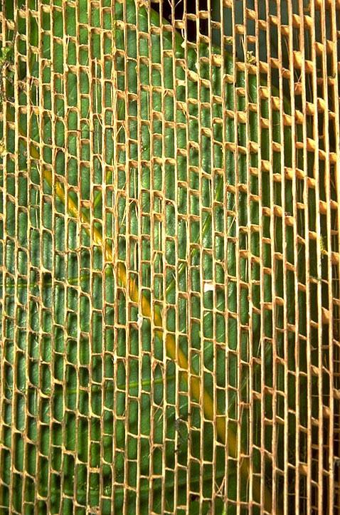 <I>Pandanus</I> leaf skeleton