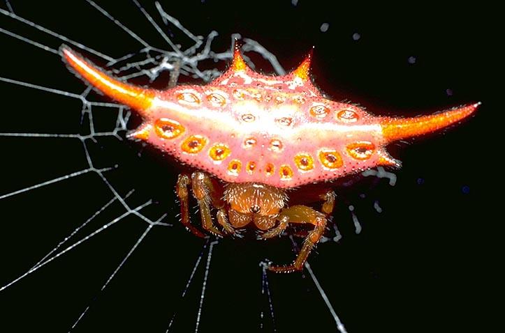 <I>Gasteracantha</I> spider