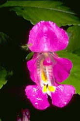 <I>Impatiens</I> with spider