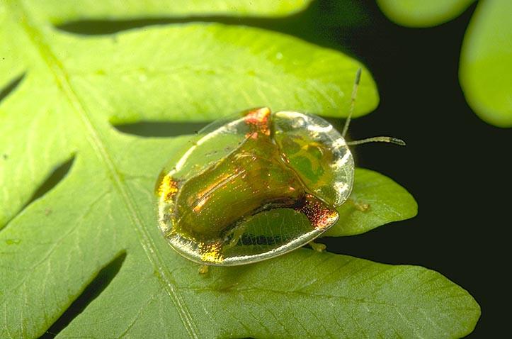 Gold tortoise beetle
