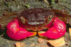 Red clawed crab