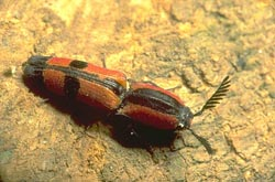 Red and black click beetle