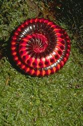 Spiral millipede
