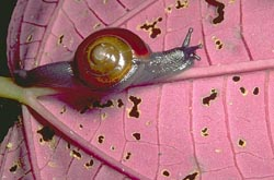 Snail on <I>Gravesia</I> leaf