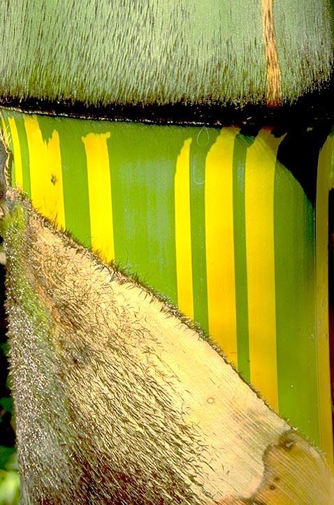 <I>Dendrocalamus</I> bamboo