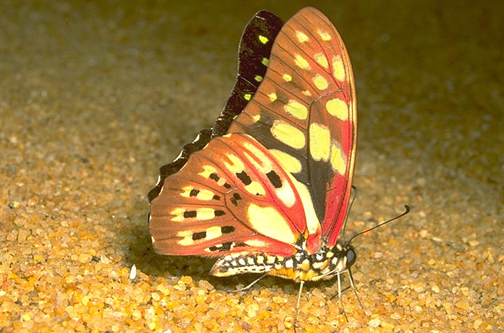 Tailless swallowtail butterfly,