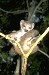 Crowned Lemur in a tree