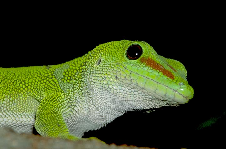 Large Day Gecko