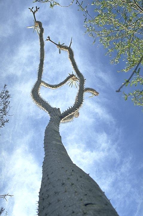 <I>Pachypodium</I> perspective
