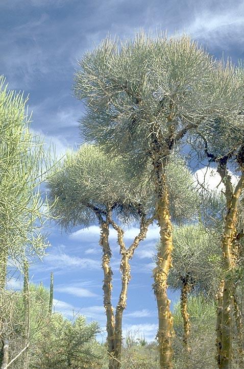 Euphorbia trees