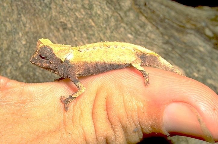 <I>Brookesia</I> chameleon on thumb