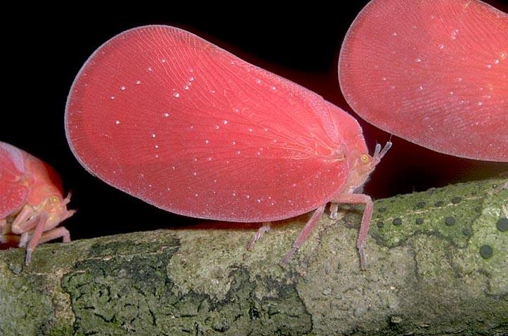 Flatid bug