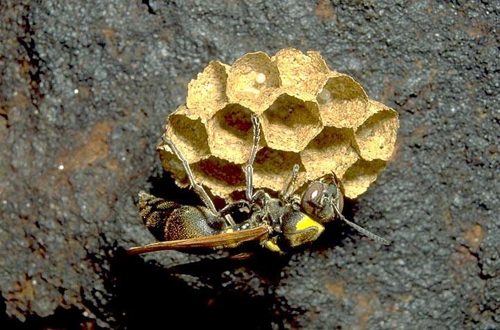 Wasp on nest