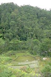 Rainforest rice paddy