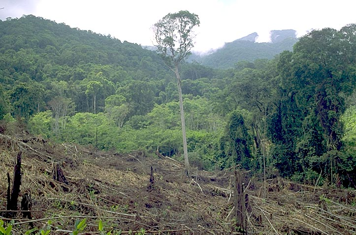 Clearing primary rainforest