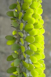 Didiereaceae closeup