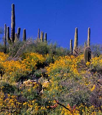 saguaro cactus research paper