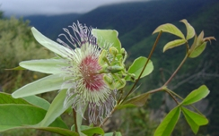 Bolivia and Peru: Passiflora