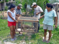 Raising majas in captivity as an alternative to wild harvesting in Pasco, Peru