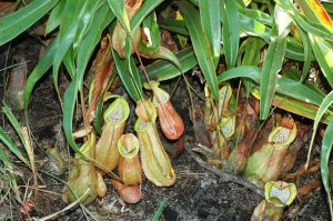 Nepenthes thorelii, Lo Go – Xa Mat National Park